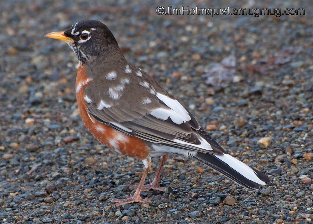 Leucistic American Robin - Nisqually Wildlife Refuge near Olympia, Wa