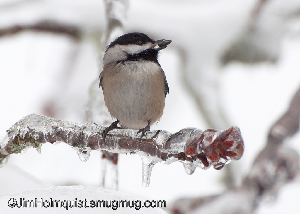 Black-capped Chickadee - On frozen branch near Olympia, Wa