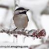 Black-capped Chickadee - On frozen branch near Olympia, Wa