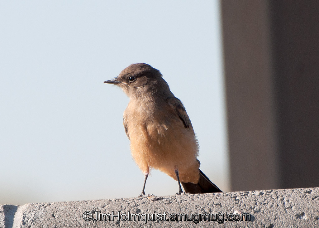 Say's Phoebe - Birds of Prey area near Kuna, Id