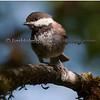 Chestnut-backed Chickadee - near Olympia, Wa