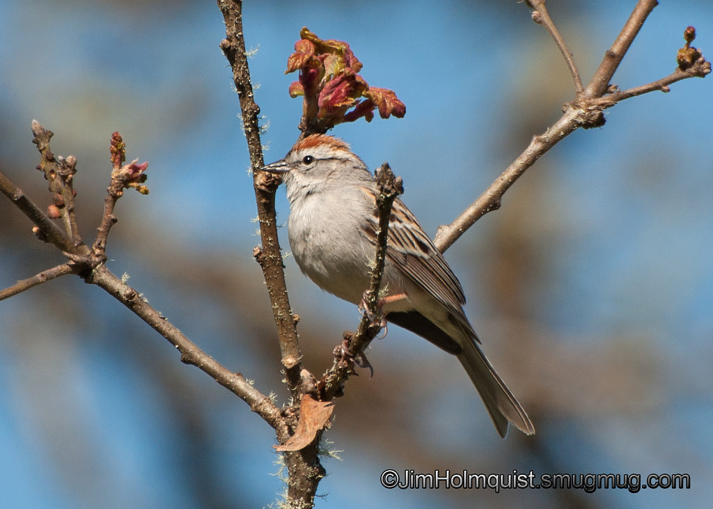 Chipping Sparrow - Scattercreek near Olympia, Wa