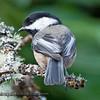Black-capped Chickadee - near Olympia, Wa