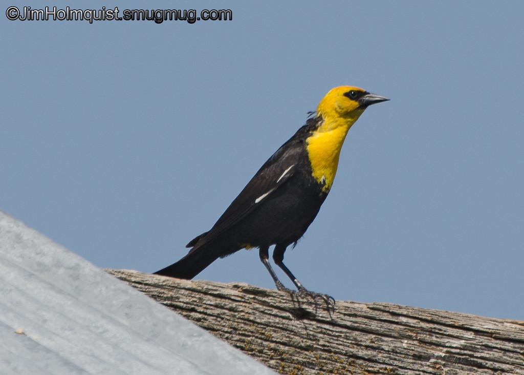 Yellow-Headed Blackbird - near Idaho Falls, Id
