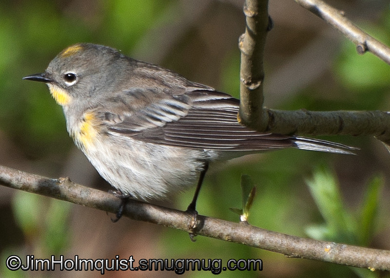 Yellow-rumped Warbler - Nisqually Wildlife Refuge near Olympia, Wa