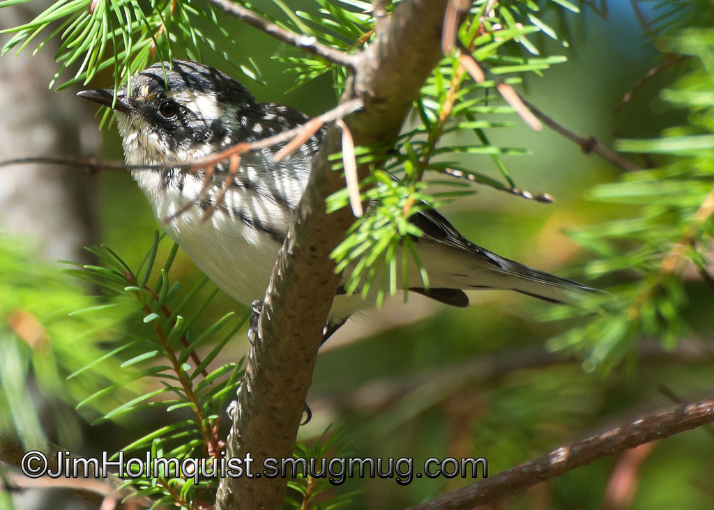 Black-throated Gray Warbler - female at Mima Mounds near Olympia, Wa