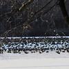 geese   at Etra lake