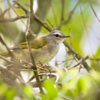 Basileuterus culicivorus hypoleucus<br /> Pula-pula-de-barriga-branca<br /> White-bellied Warbler<br /> Arañero vientre blanco - Pichito