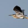 Butorides striata<br /> Socozinho<br /> Striated Heron<br /> Garcita azulada - Hoko'i
