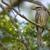 Myiodynastes maculatus<br /> Bem-te-vi-rajado<br /> Streaked Flycatcher<br /> Pitogüé rayado - Vichi vichi para