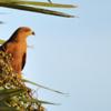 Heterospizias meridionalis<br /> Gavião-caboclo<br /> Savanna Hawk<br /> Aguilucho colorado - Taguato pytâ