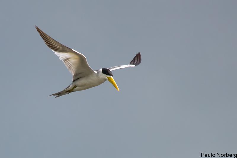 Phaetusa simplex<br /> Trinta-réis-grande<br /> Large-billed Tern<br /> Gaviotín - Atî guasu