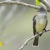 Elaenia flavogaster<br /> Guaracava-de-barriga-amarela<br /> Yellow-bellied Elaenia<br /> Fiofío copetón - Guyra káva