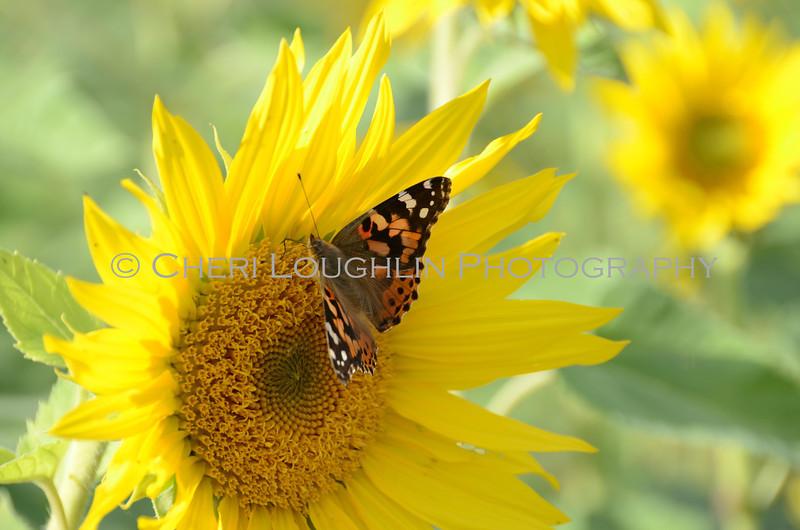 Sunflower Butterfly 1