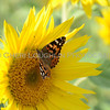 Sunflower Butterfly 1