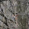 Woodpecker-2012-03-17-006