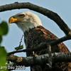 Close-up Eagle at cabin June 2008