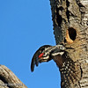 Yellow-bellied Sapsucker taking flight from nest cavity