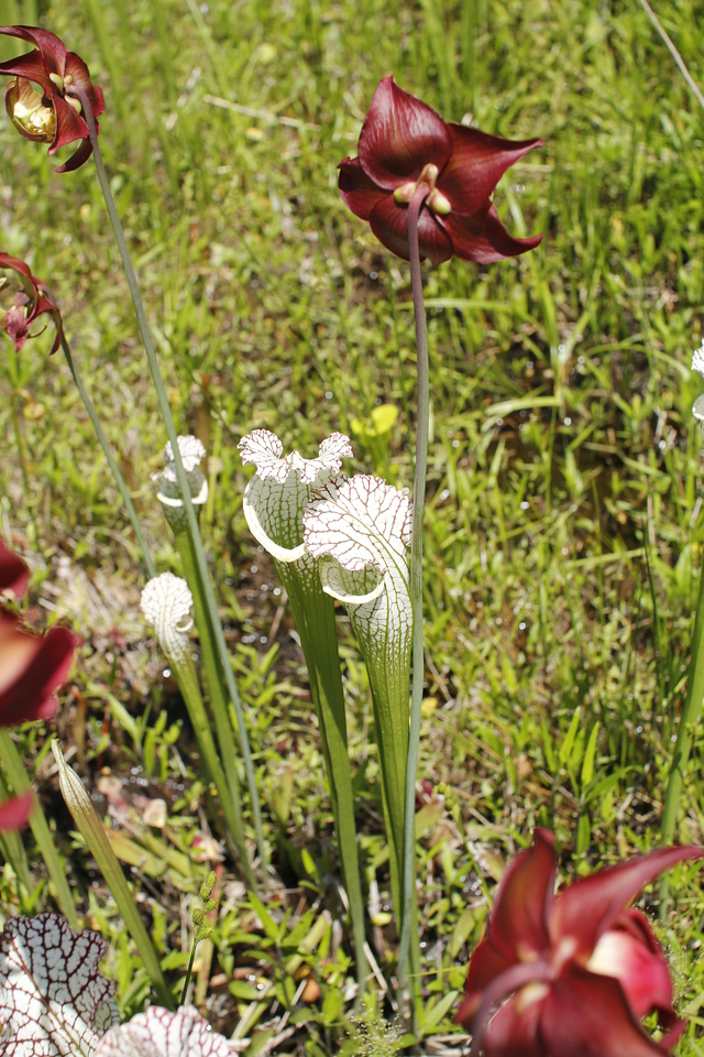 pitcher plants and their flowers