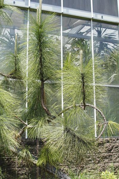 a very long leaf pine