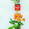Cattleya Plant