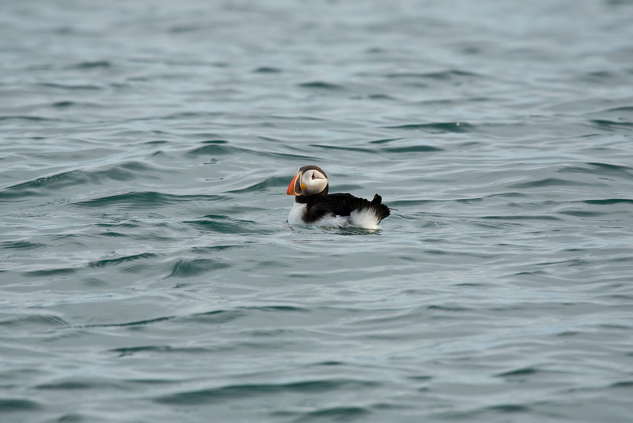 Puffin in the ocean