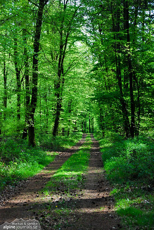 Forest path in summer