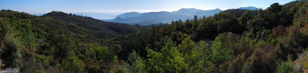 Mimosa forest near Nice, France
