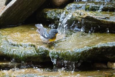 Northern Parula Warbler - May 2018