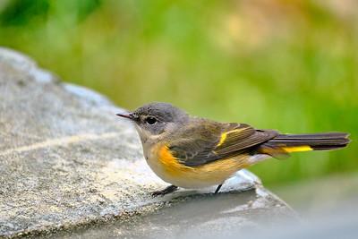 American Redstart - Female - September 2020