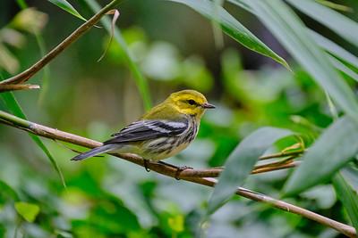 Black-Throated Green Warbler - Female - September 2020