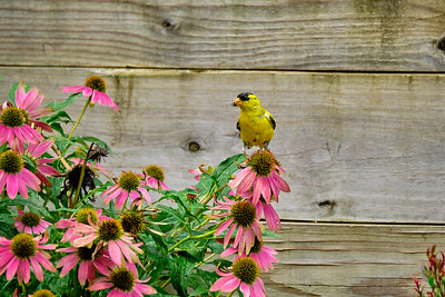 Male Goldfinch on Coneflower - August 2020