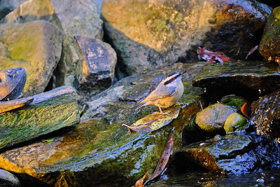 Red Breasted Nuthatch - October 2020