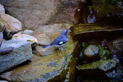 Black Throated Blue Warbler - May 2020