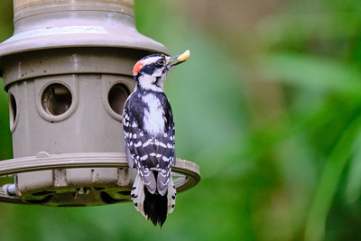 Downy Woodpecker - Male - September 2020