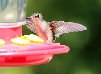 Hummingbird landing to dine.
