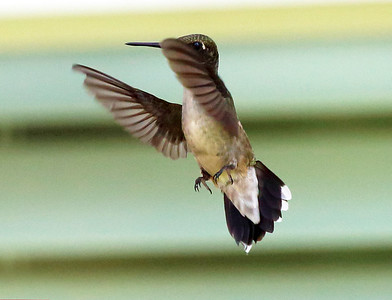 Hummingbird maneuvering -- note the tail feathers unfurled for control.