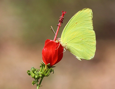 A little yellow butterfly sups from a Turk's Cap bloom ...