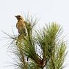 Female eastern bluebird standing guard over her nestlings