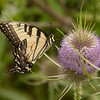 Female Easter-tiger swallowtail