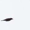 Female eastern bluebird doing a flyby