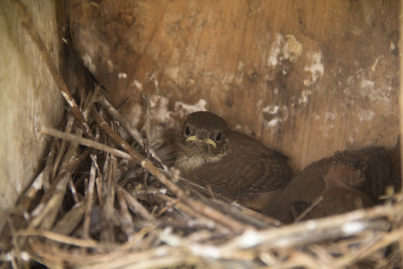 House wren nestlings ready to fledge