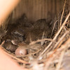House Wren nestlings and an unhatched egg
