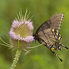 Male Easter-tiger swallowtail