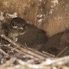 House wren nestlings ready to fledge