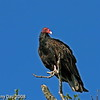 Turkey Vultures Jester Park Polk City Iowa