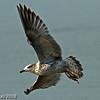 Ring Bill Gull at Syylorville Lake near Polk City Iowa