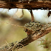 Humingbird nest