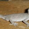 Soft spined gecko (Strophurus williamsi)