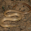 Burton's snake lizard (Lialis burtonis)